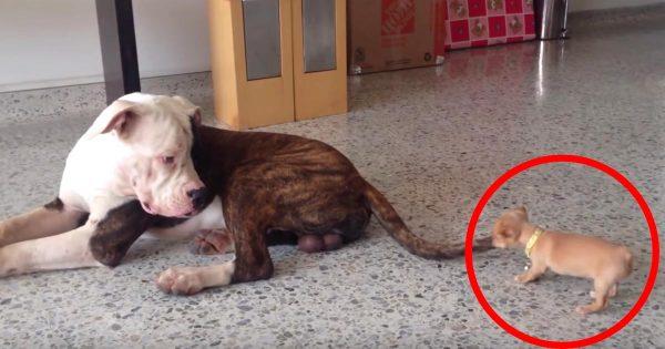 しつこくイタズラをするチワワの子犬と、アメリカン・ブルドッグのやり取りに癒される^^