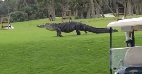 ゴルフをしていたら、巨大なワニが現れたと話題に!