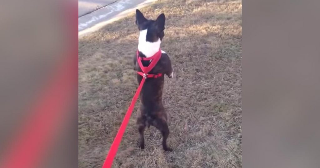 散歩の仕方が特殊すぎる犬がかわいいと話題に笑「進化中だね笑」などの声