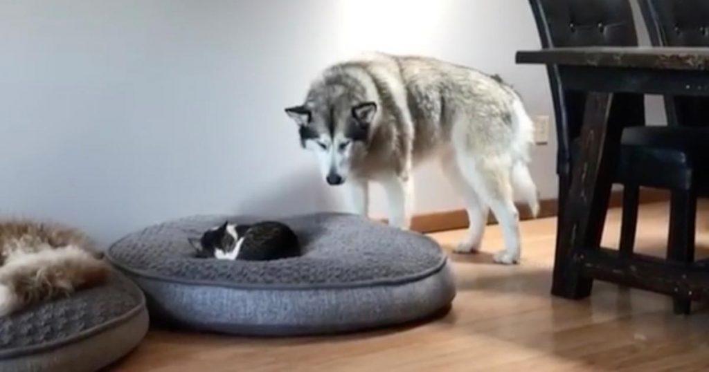 猫に自分のベッドを占領されてしまったハスキー犬の紳士的な行動が話題に!