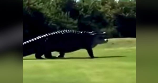 ゴルフ場に現れた規格外の大きさのワニが話題に!恐竜にしか見えない!