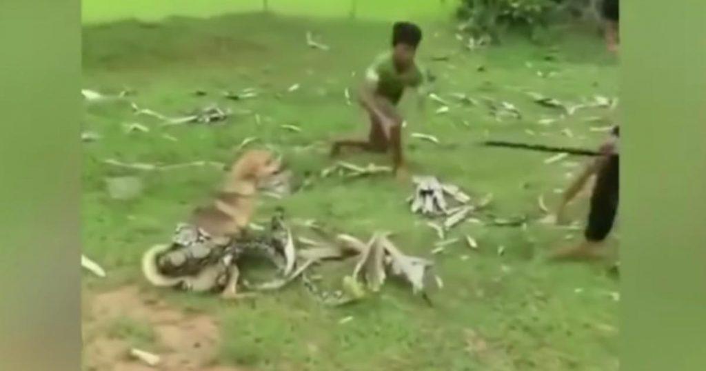 3メートルの巨大ヘビに巻きつかれてしまった愛犬を救助する、勇敢な少年たちが話題に!