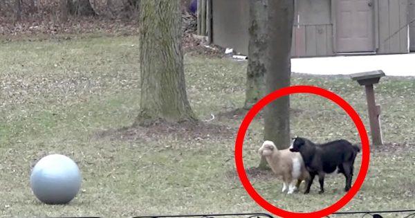 ボールに驚いたヤギの、尋常ではないリアクションが話題に!