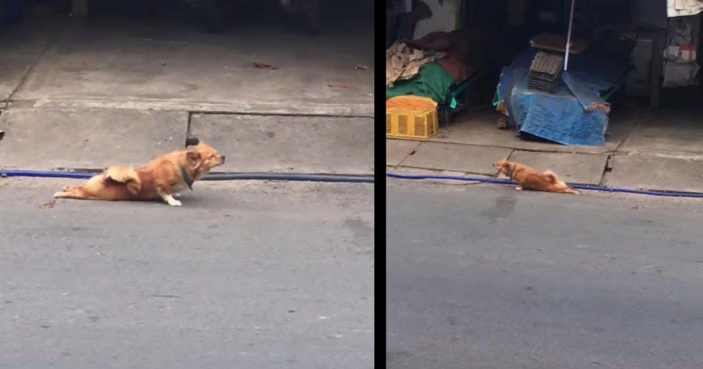 完全に騙された!後ろ足を引きずりながら歩く可哀想な野良犬、、と思いきや賢すぎる犬の作戦だった!