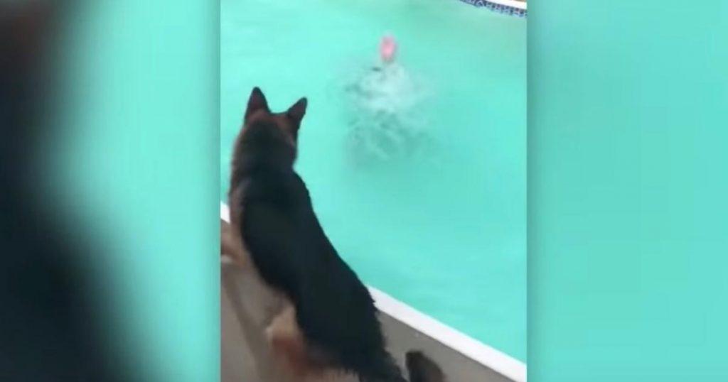 溺れている飼い主さんを見たジャーマン・シェパードの行動がカッコ良すぎ!