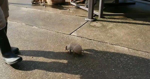 【伊豆】飼育員さんにずっとついてくアルマジロが可愛すぎると話題に!「こんなに小さかったとは」「しっぽのフリフリがたまらない」の声