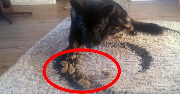 ちょと踏んだら死んでしまいそうな、懐いてくる小さなウズラのヒナを、細心の注意を払いながら見守る犬