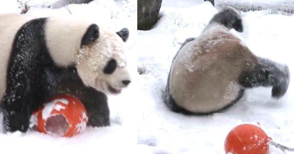 初雪に大はしゃぎするパンダが可愛すぎる!まるで人間の子供みたい^^