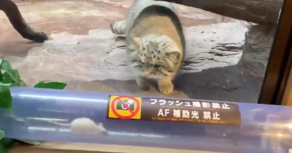 那須どうぶつ王国の「マヌルネコ」の猫パンチが可愛すぎると話題に!