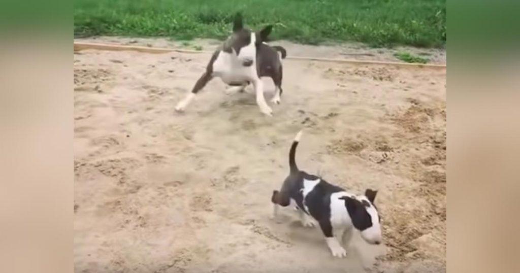 子犬と砂場に来た母犬が、子犬より興奮してテンションMAXに!子犬も逃げ出すレベル笑
