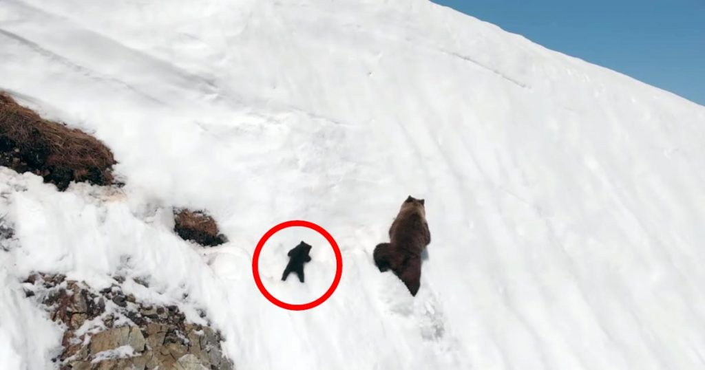 「諦めるな!ついて来い!」ほぼ垂直の雪の崖を登る熊の母子が話題に。滑り落ちる子熊を応援せずにはいられない^^;