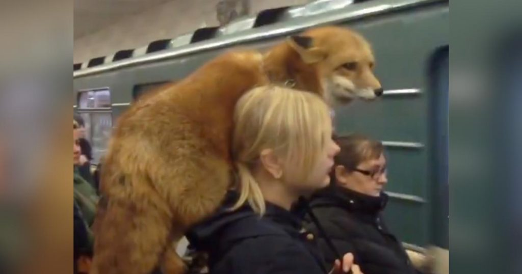 キツネを肩に載せているのに、周りの皆が平然としているロシアの地下鉄がスゴいと話題に!