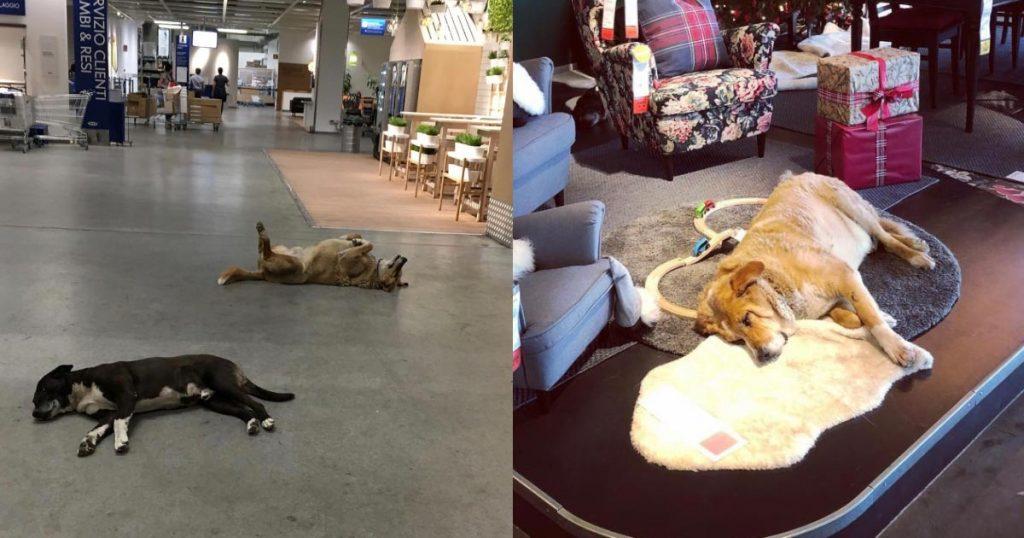 【神対応】イケアの店内にたくさんの犬たちが!展示かと思いきや、野良犬たちへのイケアの神対応だったことがわかり話題に!