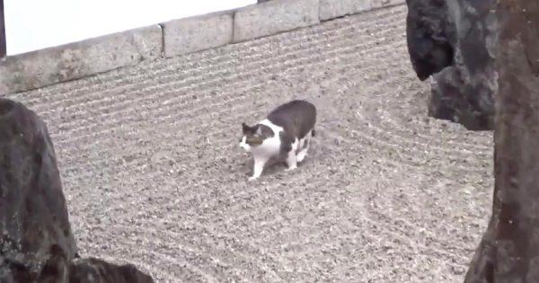 まさに「忍猫」!枯山水の砂紋を崩さず器用に歩く猫がさすがだと話題に!