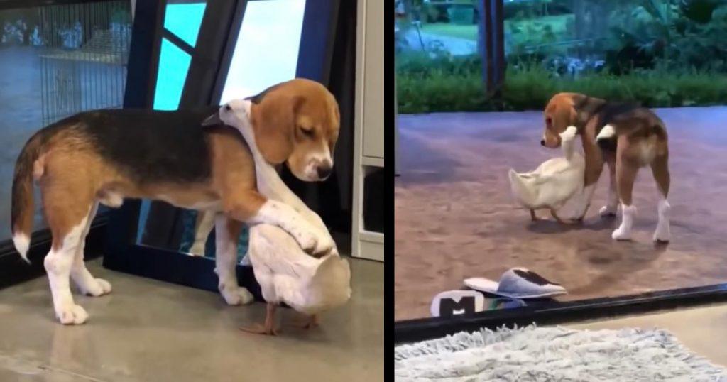 ハグをする犬とアヒル。とても仲の良いカップルが話題に!