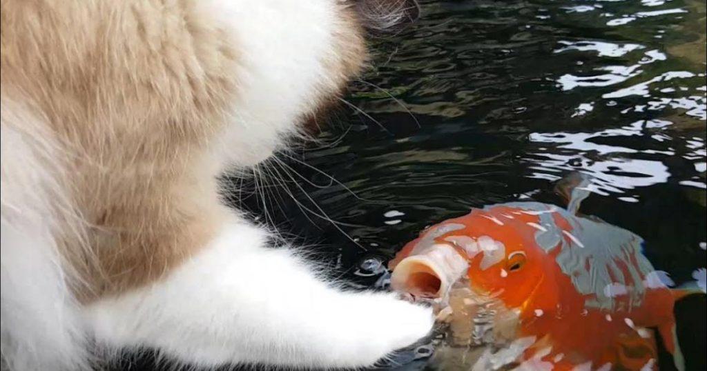 猫が池のコイの頭を優しくナデナデ!コイの方から近づいてきて仲良くする姿はまるで親友!