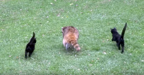 ある日、盲目のアライグマに寄り添いサポートする2匹の子猫がやって来た。種を超えた愛は奇跡を起こした