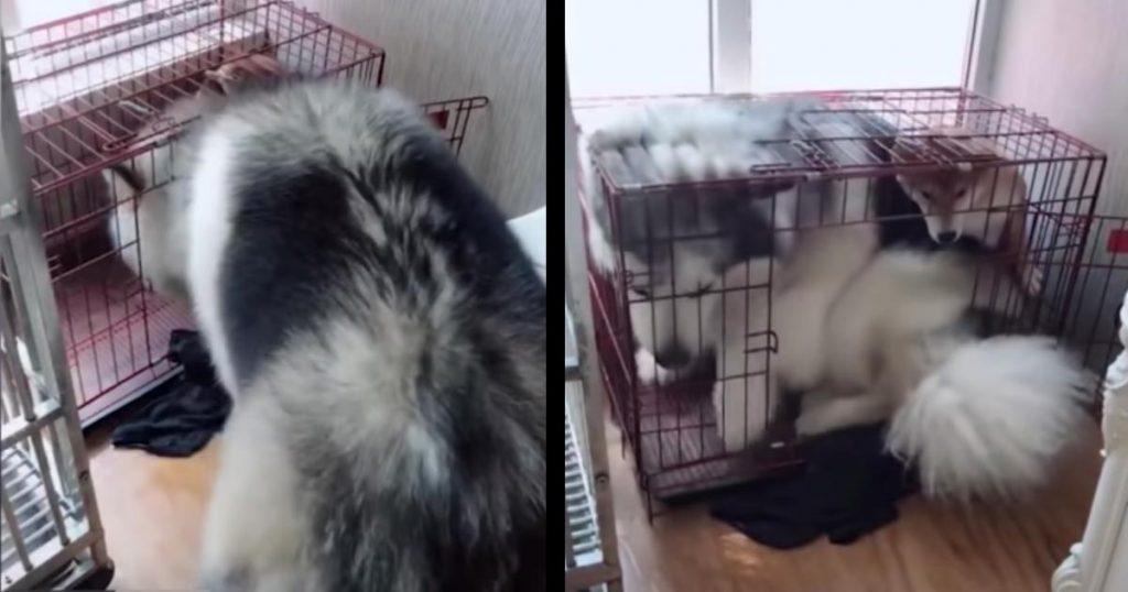 そのケージは君用じゃないよ!どうしても柴犬の小さなケージに入ってみたかったアラスカンマラミュートが可愛すぎ!