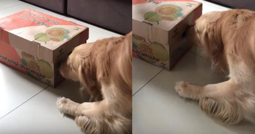 「これは匂うぞ!」子犬をサプライズプレゼントされたゴールデンレトリバー。「可愛すぎる中身」を見た反応が可愛い!