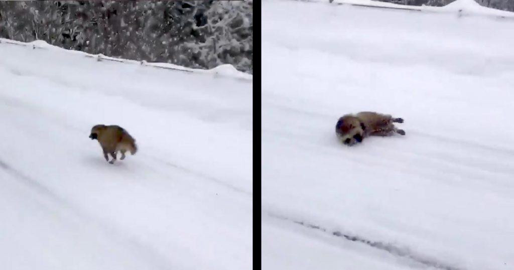 「は?!オレ転んでないし」雪道を軽快に走っていたタヌキが滑って転倒!起き上がった時のリアクションが最強に可愛いと話題に!