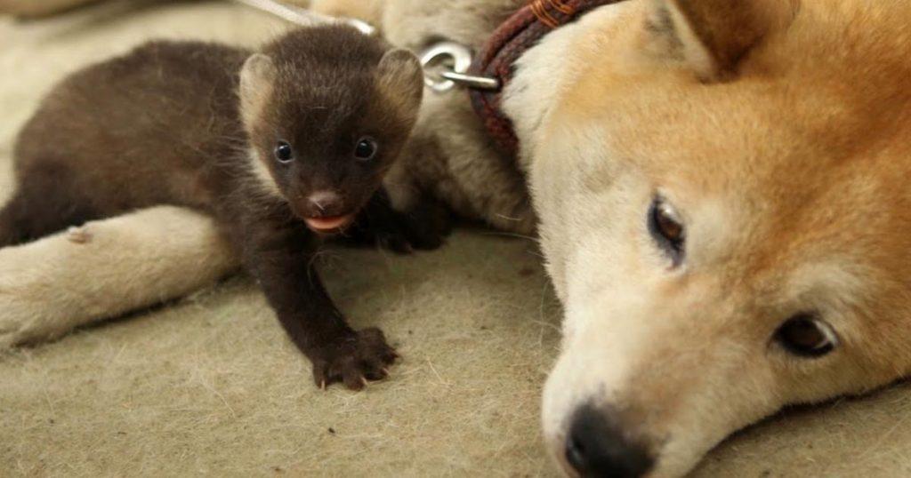 一人ぼっちだったテンの赤ちゃんを育てた柴犬の体に異変が!種を超えた母性愛が起こした奇跡。