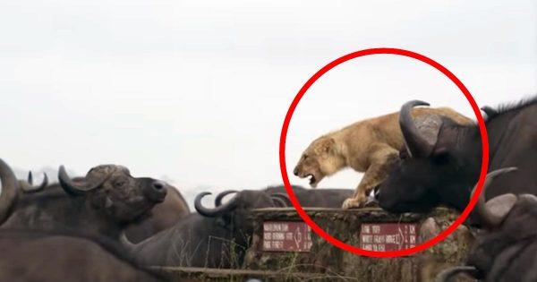 無数のバッファローたちに囲まれてしまったライオン。百獣の王も流石に涙目な動画が話題に