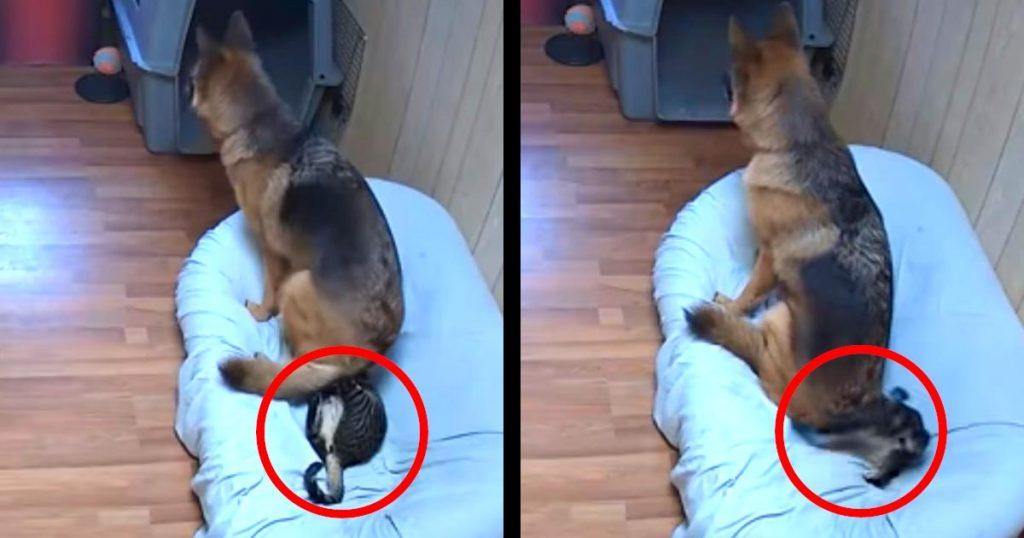 「新しいベッドは快適だね」「何するニャー!」下に猫がいるのに気付かずに座る犬。猫が大変なことになってしまう笑
