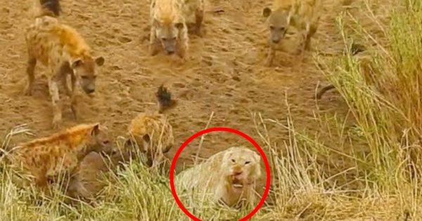 「うちのダンナに何をする!」12匹のハイエナに囲まれ息も絶え絶えだった夫ライオン。しかし、2頭の奥さんライオンが速攻で撃退!