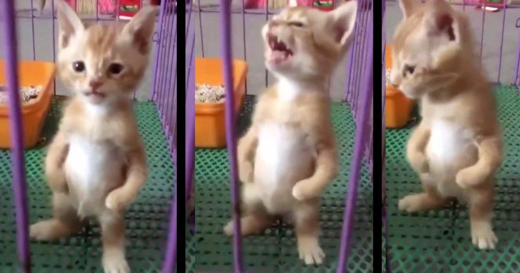 猫人間現る!二本足で立って鳴く子猫がポケモンのキャラみたいで超可愛い!