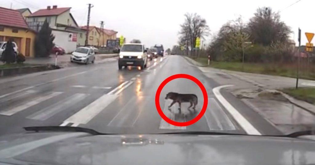 横断歩道を渡るお利口な犬。それに気づいたドライバーたちの優しい対応も素晴らしい!