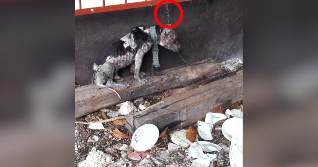 飼い主に地面で寝ることすら出来ないほど短い鎖に繋がれ放置されていた犬。それでも人間を信用する姿に涙