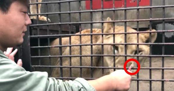 ライオンやトラに「ちゅ〜る」を与えてみた動画が話題に!猛獣たちの行動が可愛すぎる笑