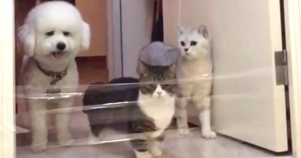 入り口に張られたテープを軽々と越えていく猫たち。それを見た犬の行動が可愛すぎると話題に!