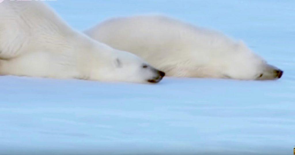 ホッキョクグマが海で濡れた体を乾かす方法が可愛すぎる!「巨大な丸い子猫のようだ」