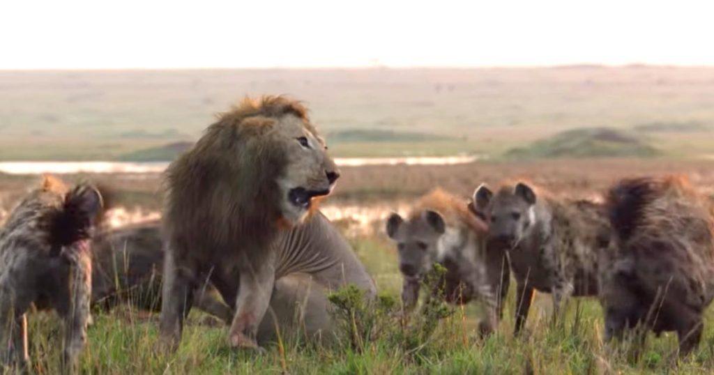 20匹のハイエナに囲まれ力尽きかけていた雄ライオン。すると強すぎる助っ人が現れ、一吠えで撃退!