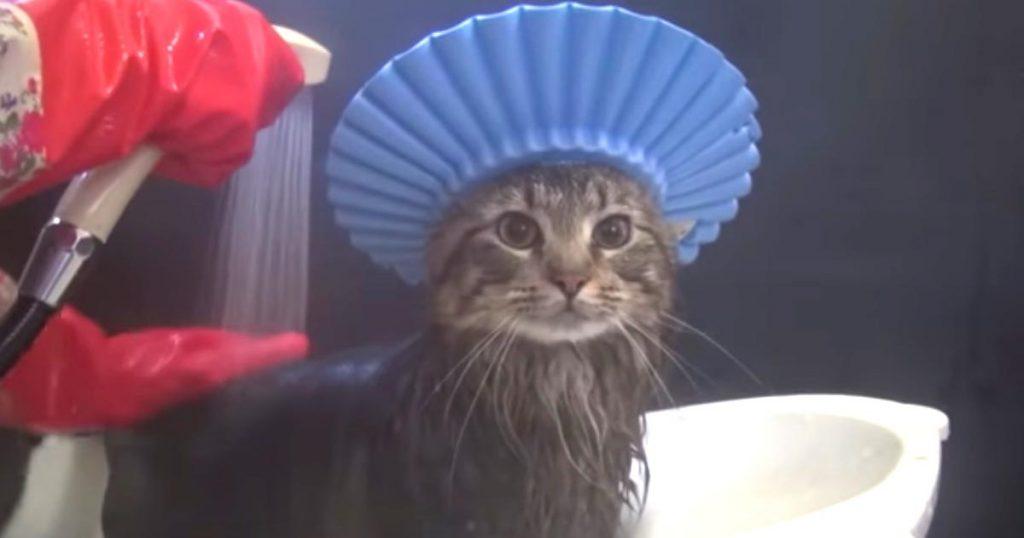 濡れるのがちょっと苦手な猫。シャンプーハットを付けてあげたら似合いすぎた笑「王者の威厳を感じる」