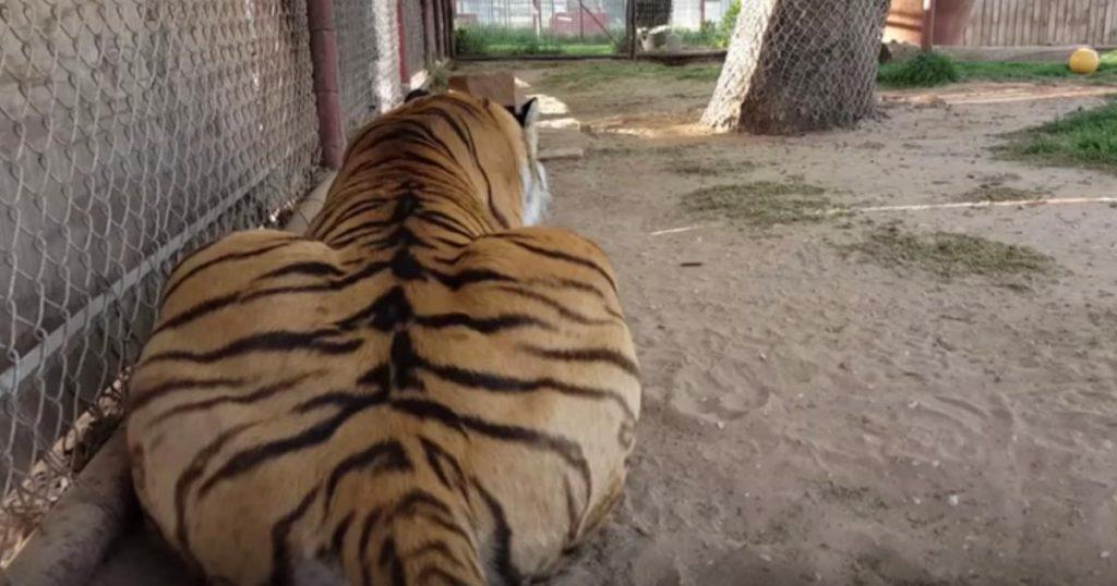 トラの後ろにこっそり近づいて、小さな声で名前をささやいたら可愛すぎるリアクションをした笑