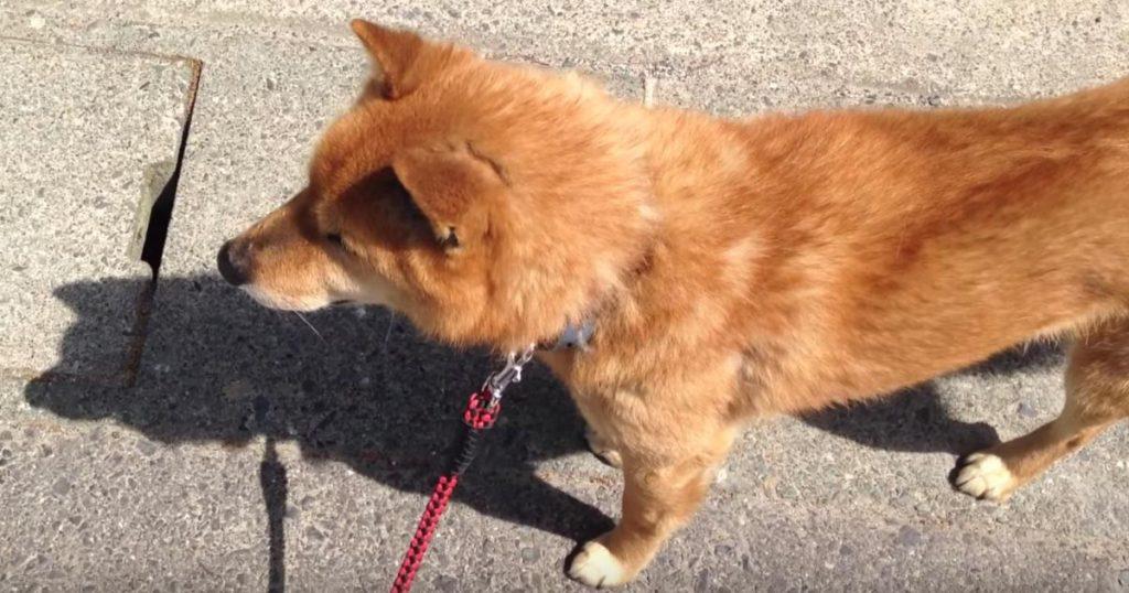 「ん?なんかおかしいぞ」散歩だと思ってルンルンだったのに、途中で徐々に注射だと気付いてしまった柴犬の反応が可愛すぎる笑