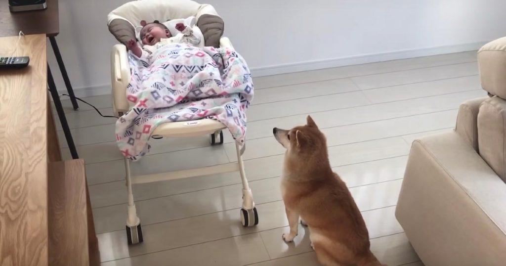 泣いている赤ちゃんを見た柴犬の行動が優しいと話題に!赤ちゃんもすぐに泣き止んだ!「良いお兄さんだね!」「最高のベビーシッター!」の声