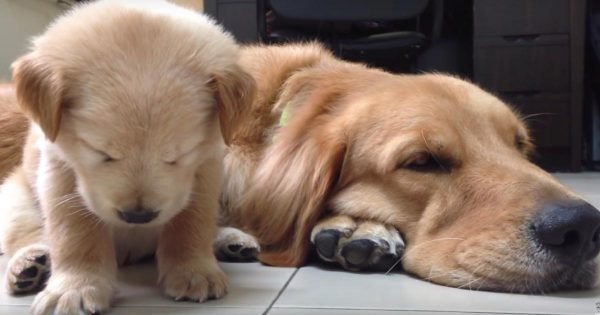 眠たいのを我慢してウトウトするゴールデンレトリバーの親子が可愛すぎると話題に!
