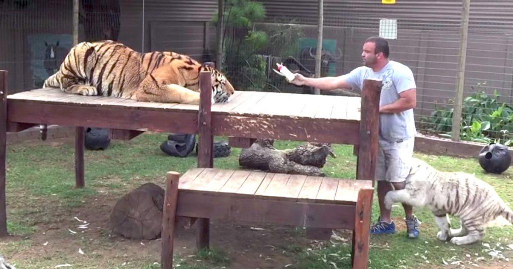 なぜトラから目を背けたり、背中を向けてはいけないのか。その理由がよく分かる動画