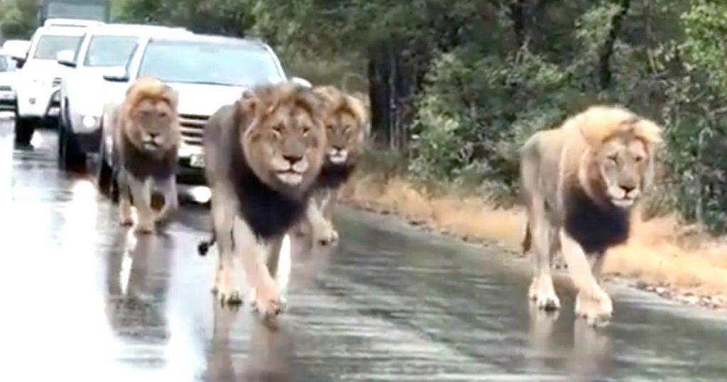 まさに王者の風格!渋滞の原因となりながらも、おかまいなしに悠々と歩く野生のライオン集団がカッコ良すぎると話題に!