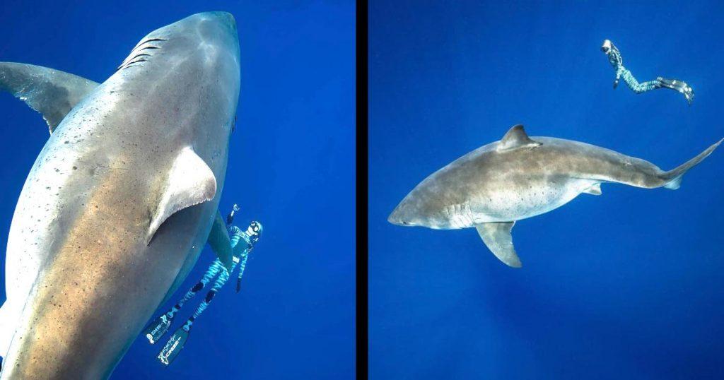 ハワイで世界最大級のホオジロザメの撮影に成功し、伝説の巨大ホオジロザメ「ディープ・ブルー」かと話題に!