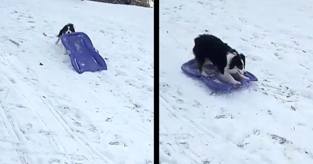 自分でソリを運んで何度も滑る犬が賢くて可愛すぎ!とても楽しそうに滑る姿は人間の子供みたい!