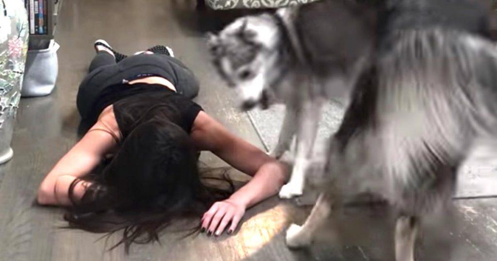 倒れた人を助ける犬の動画を見た飼い主さん。愛犬たちはどんな反応をするか試したら、面白すぎる行動に出た笑