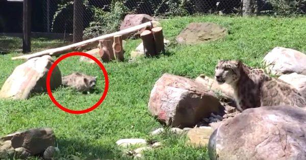 こっそりママに忍び寄るユキヒョウの赤ちゃん。驚いたママの行動が可愛すぎると話題に!凄い身体能力!