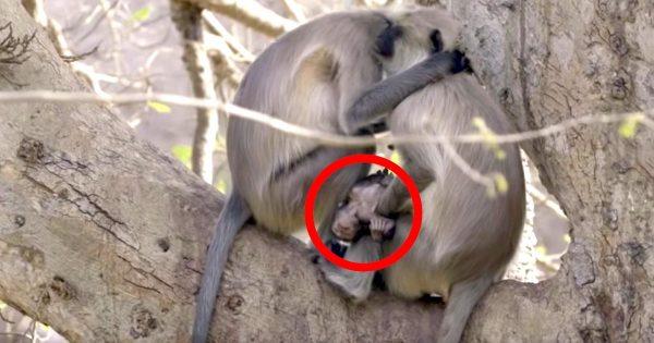 「どうして動かないの?」我が子の死を受け入れられない母猿。ハグで慰める仲間と、母猿の行動が胸に突き刺さる