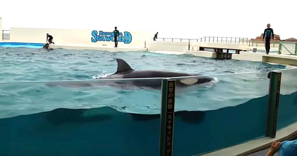 シャチの力を甘く見ていたら、圧倒的パワーに会場騒然!鴨川シーワールドの動画がヤバすぎる!