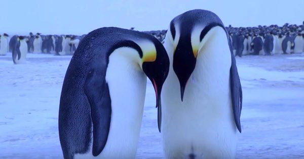 「ねぇ早く起きてよ」赤ちゃんの死を悲しむコウテイペンギンの夫婦。うなだれ、悲しみに咽び泣く姿が胸に突き刺さる