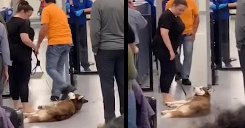 空港のセキュリティチェックをどうしても通りたくないハスキー犬が可愛いと話題に!